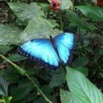 Linda mariposa Morpho Azul sobre planta verde
