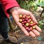 Coffee-Fruit-1