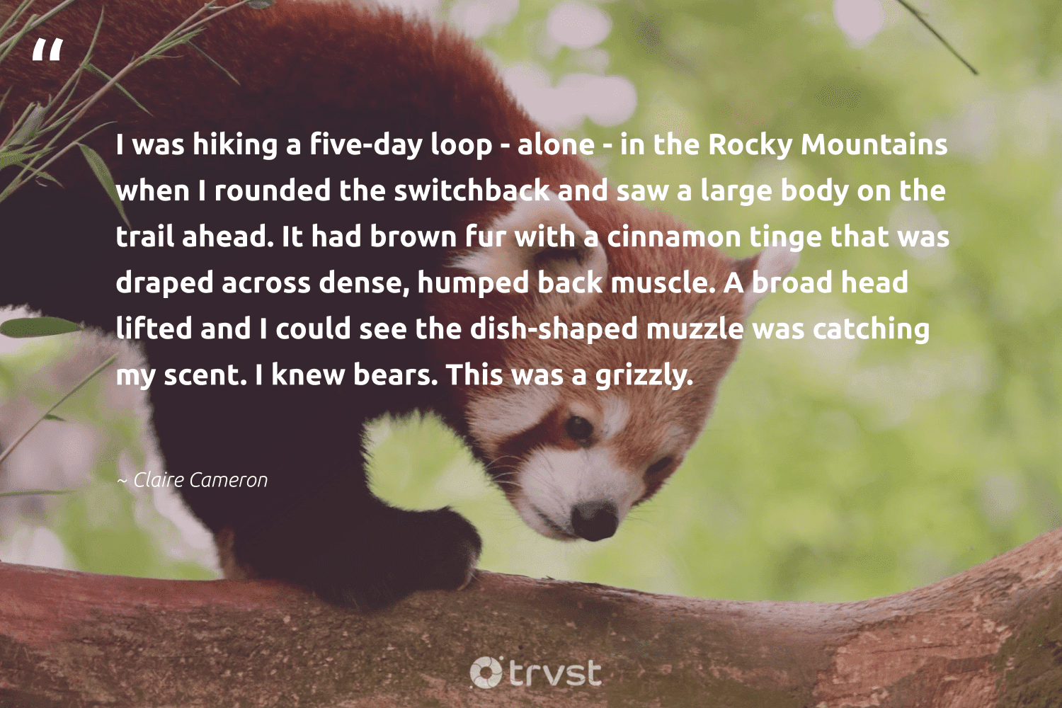 """""""I was hiking a five-day loop - alone - in the Rocky Mountains when I rounded the switchback and saw a large body on the trail ahead. It had brown fur with a cinnamon tinge that was draped across dense, humped back muscle. A broad head lifted and I could see the dish-shaped muzzle was catching my scent. I knew bears. This was a grizzly.""""  - Claire Cameron #trvst #quotes #hiking #mountains #bears #wildlifeprotection #dogood #splendidanimals #socialchange #amazingworld #impact #bear"""