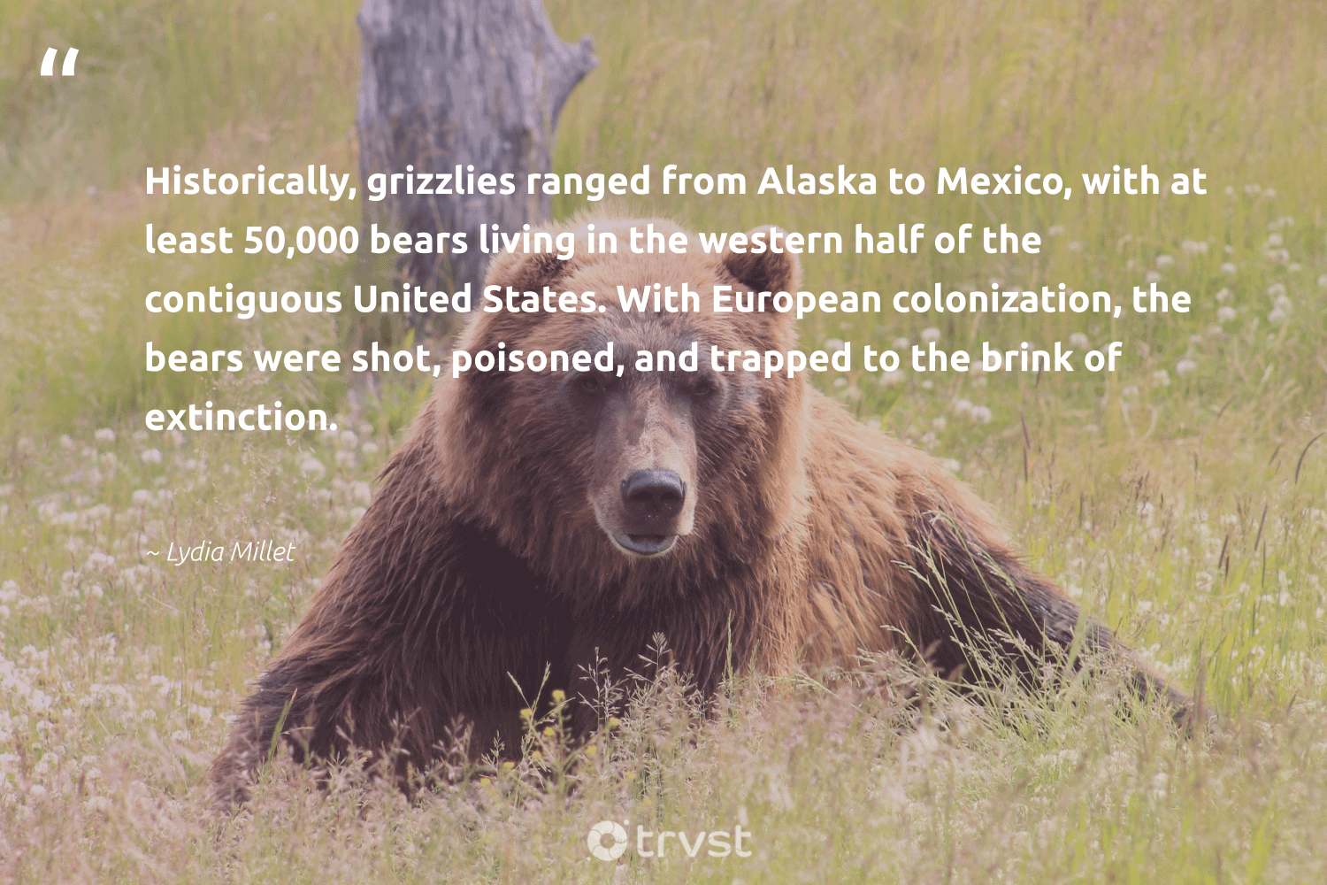 """""""Historically, grizzlies ranged from Alaska to Mexico, with at least 50,000 bears living in the western half of the contiguous United States. With European colonization, the bears were shot, poisoned, and trapped to the brink of extinction.""""  - Lydia Millet #trvst #quotes #extinction #bears #endangered #wild #natural #dotherightthing #endangeredspecies #conservation #geology #planetearthfirst"""