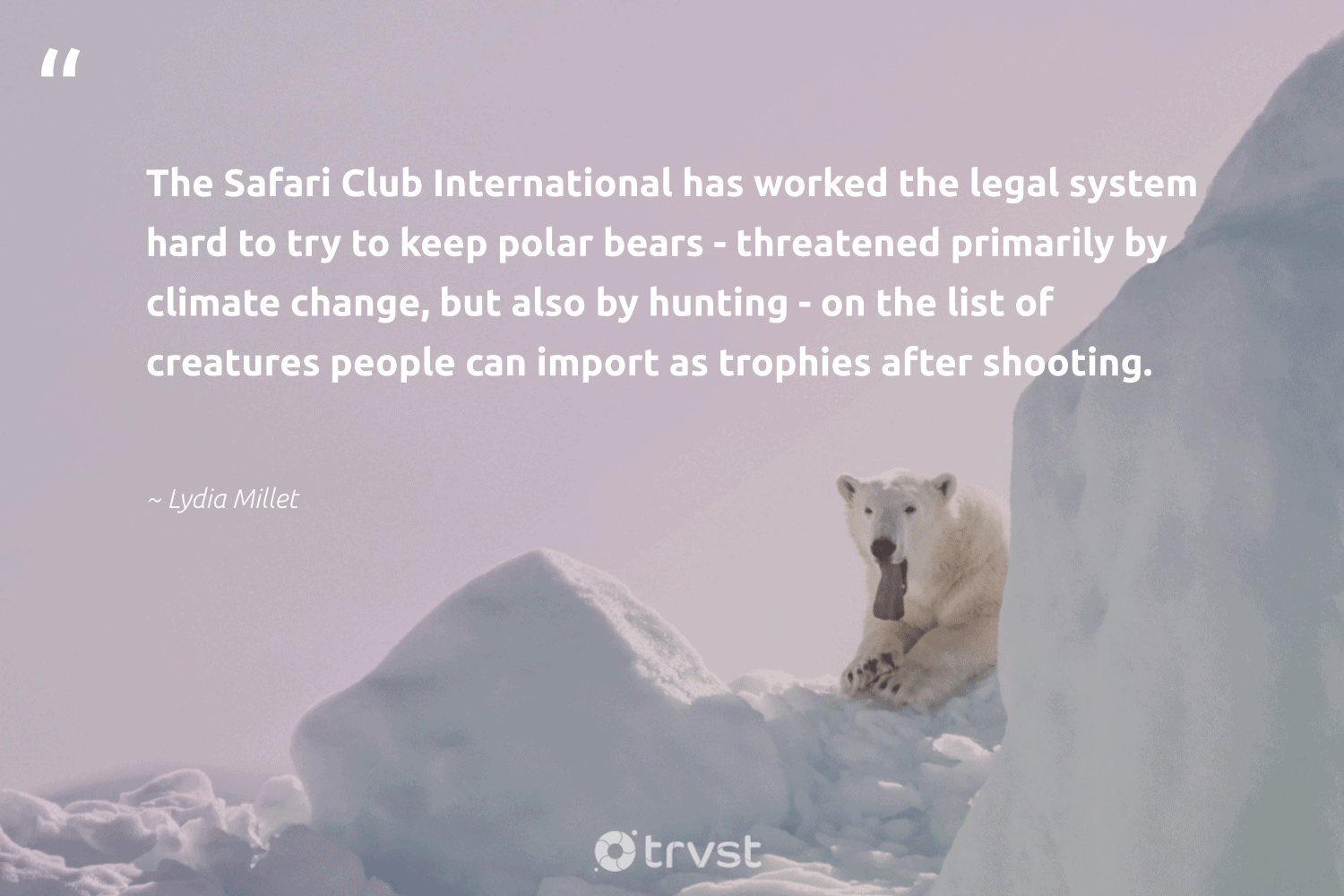 """""""The Safari Club International has worked the legal system hard to try to keep polar bears - threatened primarily by climate change, but also by hunting - on the list of creatures people can import as trophies after shooting.""""  - Lydia Millet #trvst #quotes #climatechange #safari #climate #bears #co2 #climatechangeisreal #conservation #sustainablefutures #takeaction #carbonemissions"""