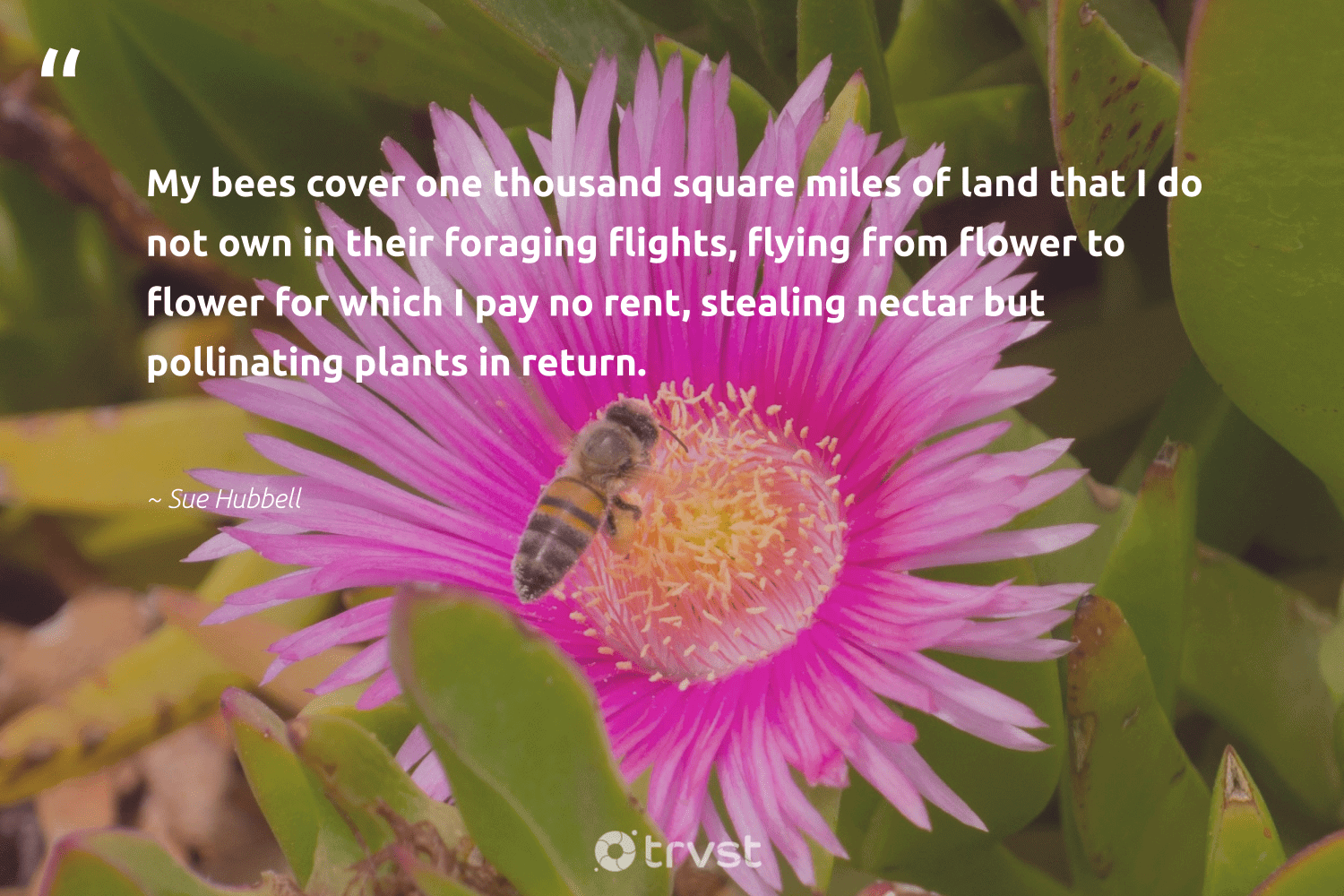 """""""My bees cover one thousand square miles of land that I do not own in their foraging flights, flying from flower to flower for which I pay no rent, stealing nectar but pollinating plants in return.""""  - Sue Hubbell #trvst #quotes #bees #honeybee #apiary #biology #planetearthfirst #beekeeping #beehive #nature #dotherightthing #honey"""