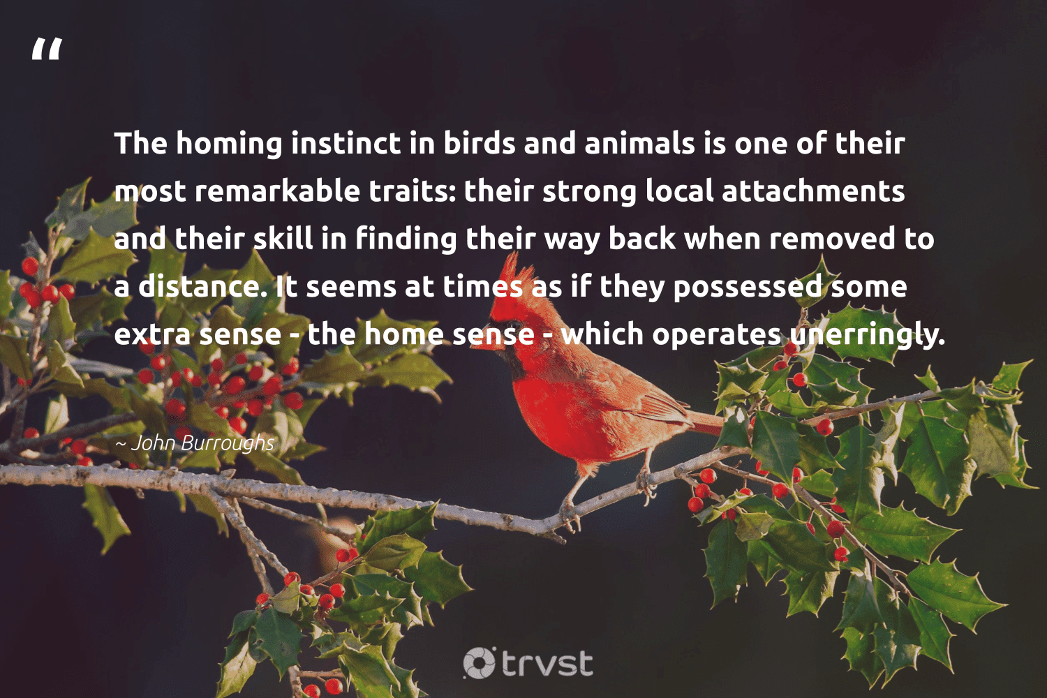 """""""The homing instinct in birds and animals is one of their most remarkable traits: their strong local attachments and their skill in finding their way back when removed to a distance. It seems at times as if they possessed some extra sense - the home sense - which operates unerringly.""""  - John Burroughs #trvst #quotes #birds #animals #wildlife #nature #gogreen #animallovers #natural #bethechange #animal #biology"""