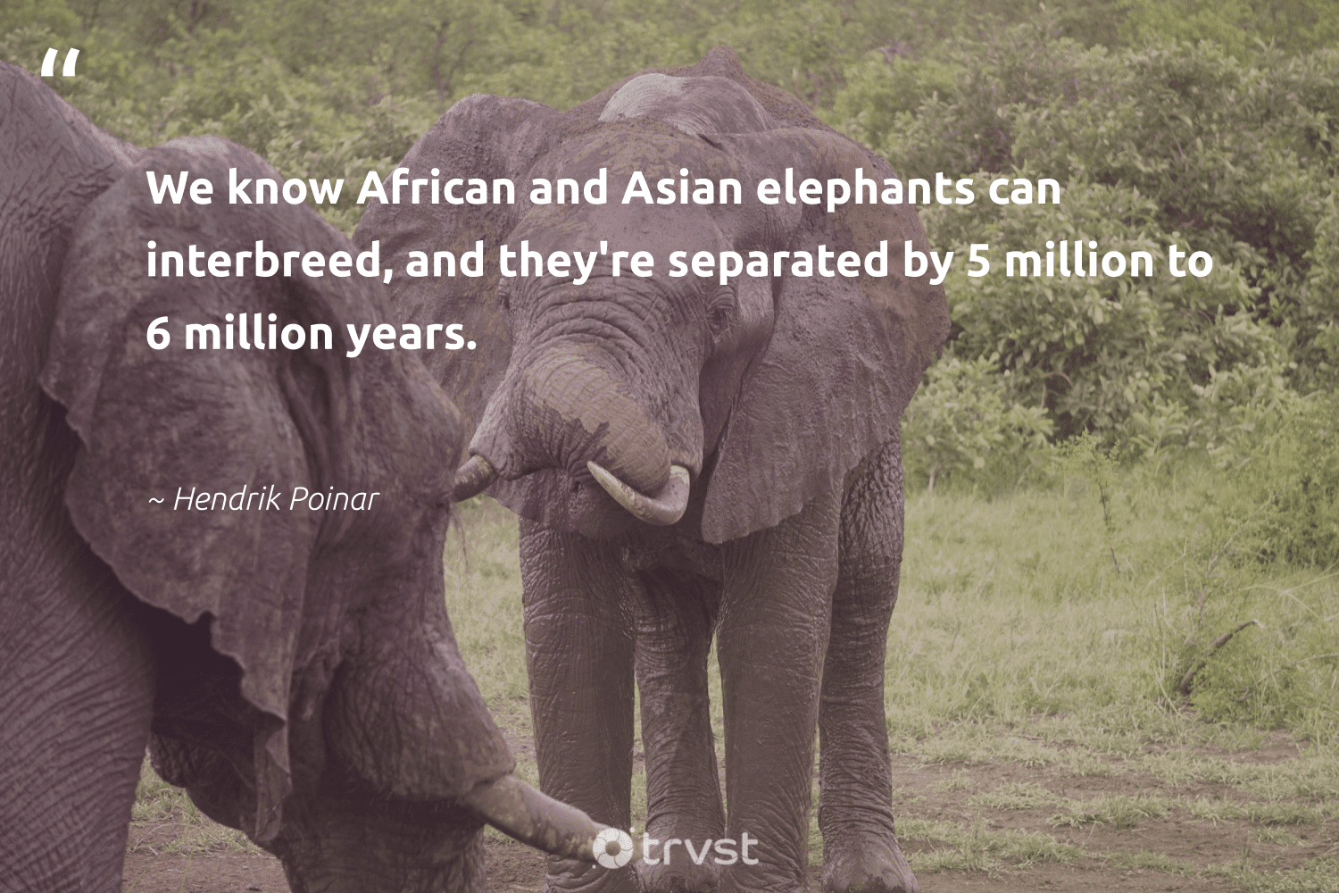 """""""We know African and Asian elephants can interbreed, and they're separated by 5 million to 6 million years.""""  - Hendrik Poinar #trvst #quotes #elephants #explore #collectiveaction #wildgeography #thinkgreen #endangered #dosomething #conservation #beinspired #elephant"""