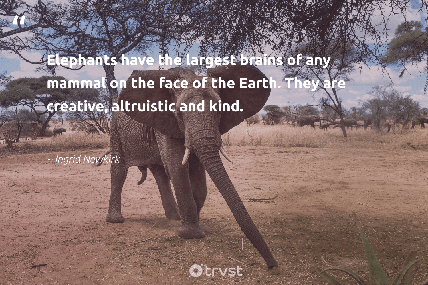 """""""Elephants have the largest brains of any mammal on the face of the Earth. They are creative, altruistic and kind.""""  - Ingrid Newkirk #trvst #quotes #earth #mammal #creative #elephants #mothernature #elephantlover #naturelovers #changetheworld #nature #elephant"""