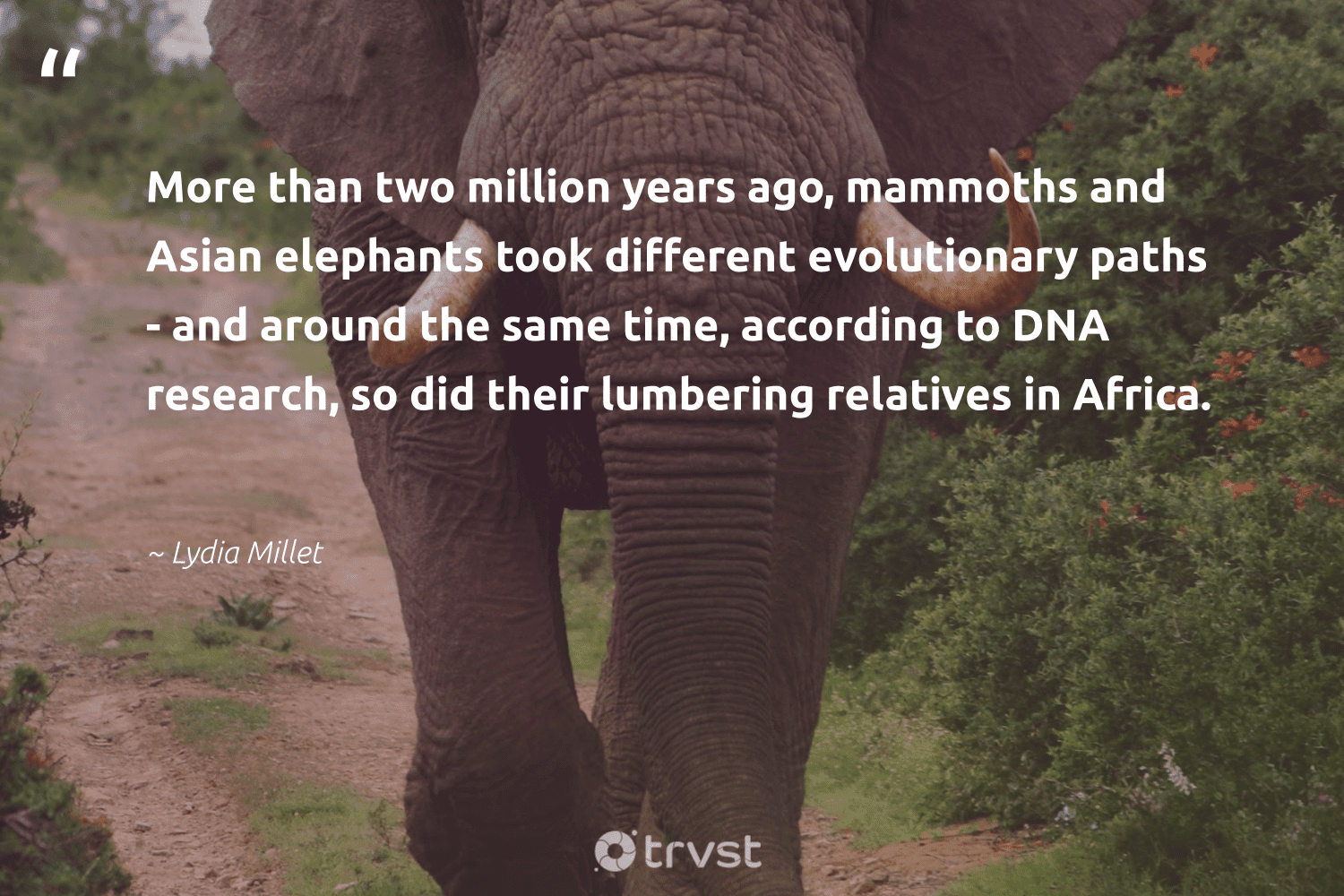 """""""More than two million years ago, mammoths and Asian elephants took different evolutionary paths - and around the same time, according to DNA research, so did their lumbering relatives in Africa.""""  - Lydia Millet #trvst #quotes #africa #research #elephants #science #mammals #forscience #collectiveaction #biology #savetheelephants #geology"""