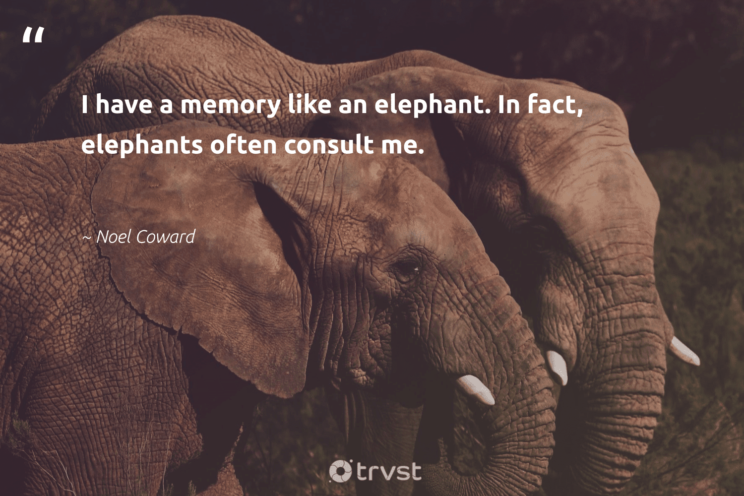 """""""I have a memory like an elephant. In fact, elephants often consult me.""""  - Noel Coward #trvst #quotes #elephants #wildgeography #takeaction #mammals #thinkgreen #elephantlove #dosomething #explore #beinspired #endangeredspecies"""