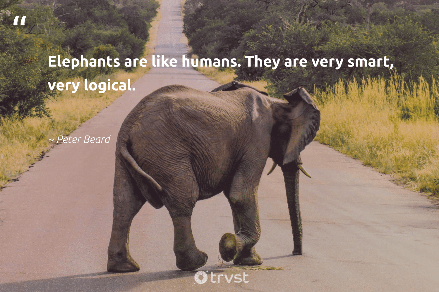 """""""Elephants are like humans. They are very smart, very logical.""""  - Peter Beard #trvst #quotes #elephants #conservation #planetearthfirst #wildgeography #socialchange #naturelovers #thinkgreen #elephantlove #gogreen #mammals"""