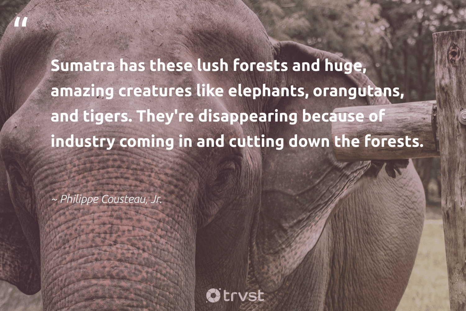 """""""Sumatra has these lush forests and huge, amazing creatures like elephants, orangutans, and tigers. They're disappearing because of industry coming in and cutting down the forests.""""  - Philippe Cousteau, Jr. #trvst #quotes #elephants #mammals #impact #conservation #dotherightthing #animals #socialimpact #elephant #planetearthfirst #endangeredspecies"""