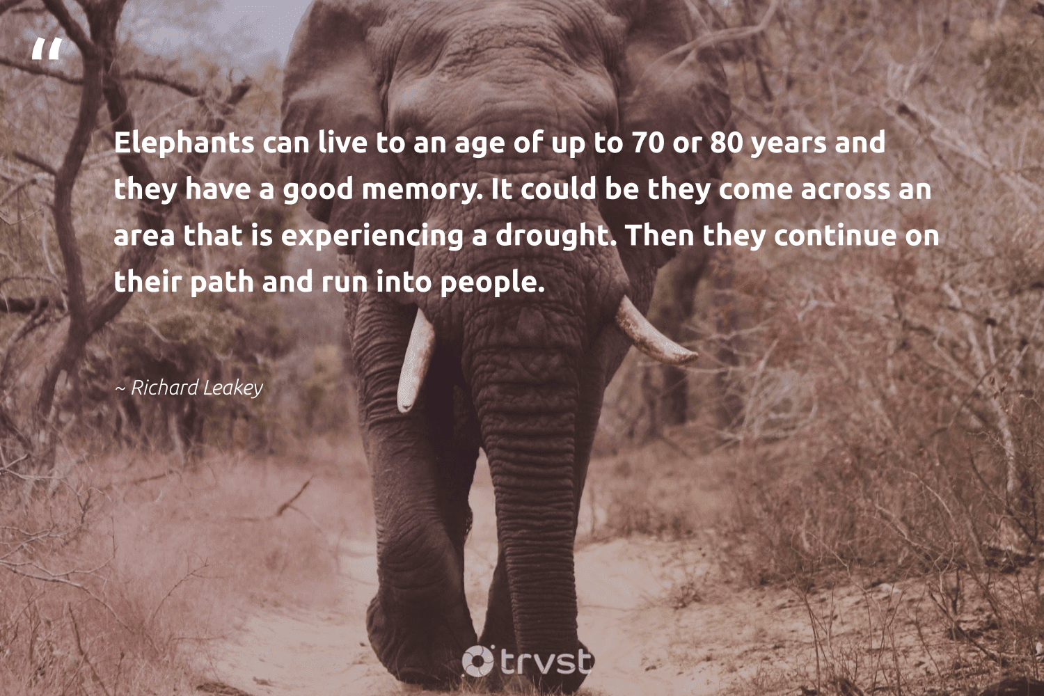 """""""Elephants can live to an age of up to 70 or 80 years and they have a good memory. It could be they come across an area that is experiencing a drought. Then they continue on their path and run into people.""""  - Richard Leakey #trvst #quotes #elephants #elephantlover #takeaction #endangeredspecies #planetearthfirst #wildgeography #ecoconscious #elephantlove #gogreen #savetheelephants"""