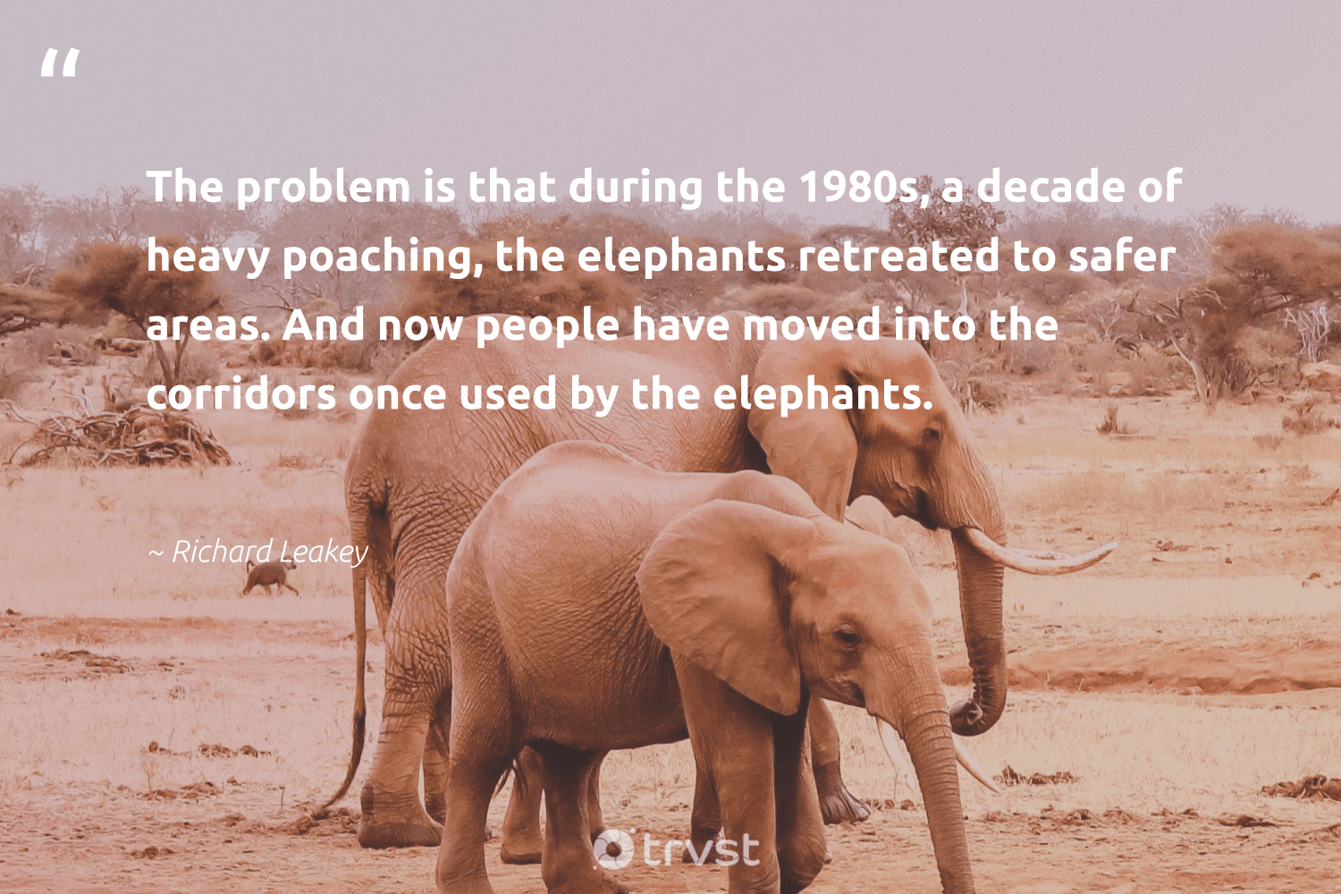 """""""The problem is that during the 1980s, a decade of heavy poaching, the elephants retreated to safer areas. And now people have moved into the corridors once used by the elephants.""""  - Richard Leakey #trvst #quotes #elephants #mammals #dotherightthing #wildlife #dogood #elephant #socialimpact #elephantlover #beinspired #endangered"""