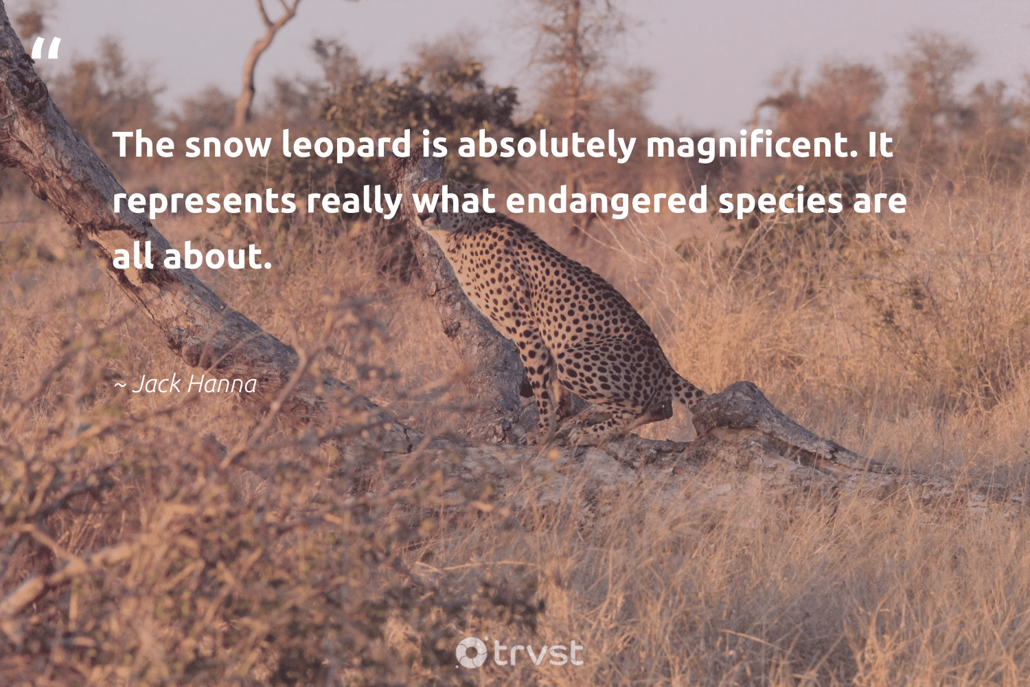 """""""The snow leopard is absolutely magnificent. It represents really what endangered species are all about.""""  - Jack Hanna #trvst #quotes #snow #endangeredspecies #endangered #leopard #endemic #flooding #conservation #natural #bethechange #extinction"""