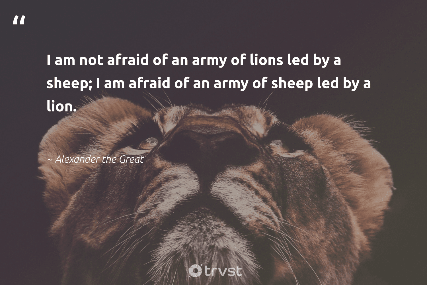 """""""I am not afraid of an army of lions led by a sheep; I am afraid of an army of sheep led by a lion.""""  - Alexander the Great #trvst #quotes #lion #lions #big5 #planetearthfirst #splendidanimals #changetheworld #conservation #dosomething #biodiversity #dotherightthing"""