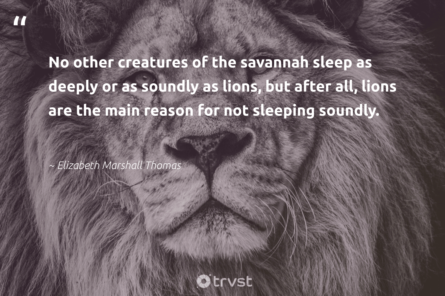 """""""No other creatures of the savannah sleep as deeply or as soundly as lions, but after all, lions are the main reason for not sleeping soundly.""""  - Elizabeth Marshall Thomas #trvst #quotes #lions #protectnature #takeaction #sustainability #socialchange #wildlifeprotection #dotherightthing #big5 #ecoconscious #conservation"""