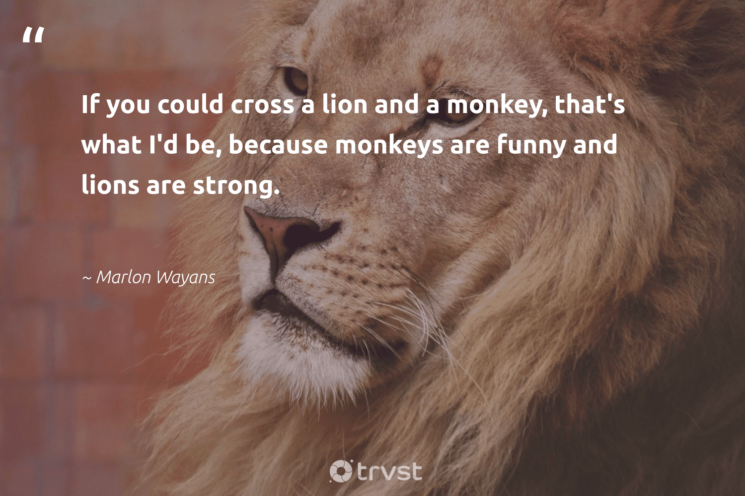 """""""If you could cross a lion and a monkey, that's what I'd be, because monkeys are funny and lions are strong.""""  - Marlon Wayans #trvst #quotes #lion #lions #monkey #monkeys #splendidanimals #socialimpact #big5 #collectiveaction #biodiversity #dotherightthing"""