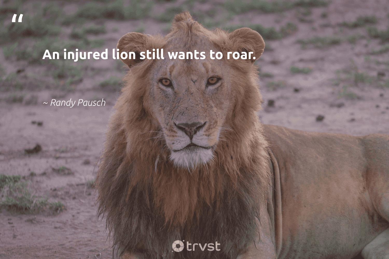 """An injured lion still wants to roar.""  - Randy Pausch #trvst #quotes #lion #lions #bethechange #protectnature #collectiveaction #wildlife #gogreen #perfectnature #socialimpact #biodiversity"
