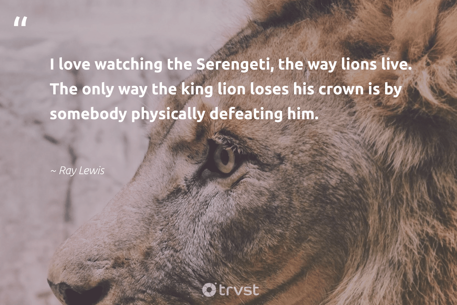 """""""I love watching the Serengeti, the way lions live. The only way the king lion loses his crown is by somebody physically defeating him.""""  - Ray Lewis #trvst #quotes #love #lion #lions #amazingworld #dogood #conservation #dosomething #perfectnature #takeaction #nature"""