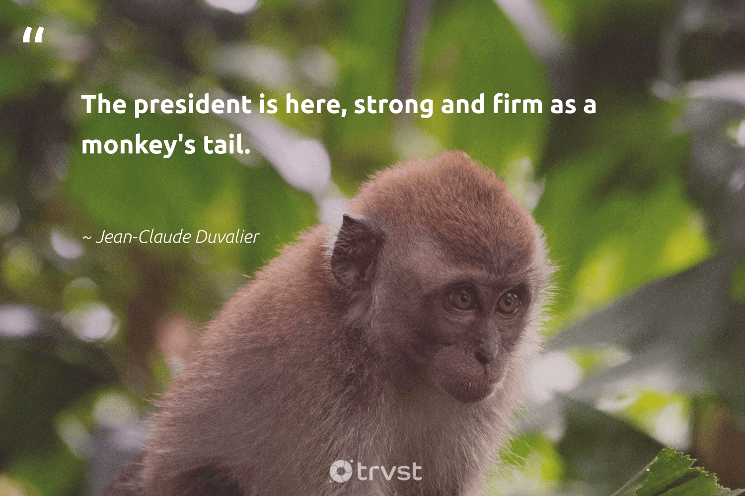 """""""The president is here, strong and firm as a monkey's tail.""""  - Jean-Claude Duvalier #trvst #quotes #monkeys #wild #gogreen #protectnature #dotherightthing #perfectnature #bethechange #amazingworld #collectiveaction #majesticwildlife"""