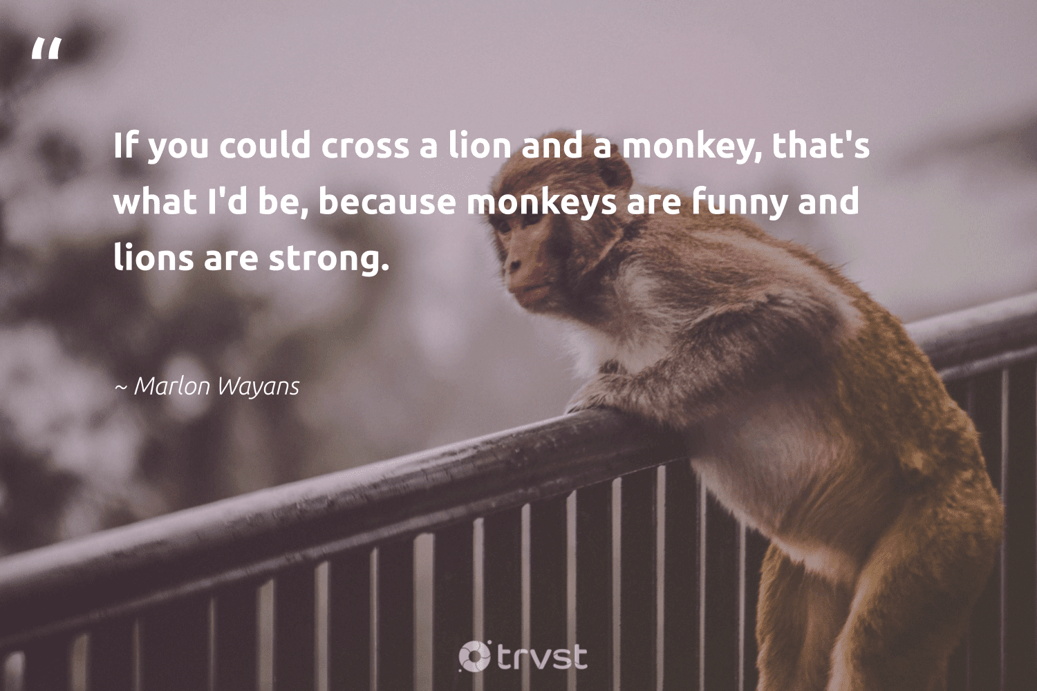 """""""If you could cross a lion and a monkey, that's what I'd be, because monkeys are funny and lions are strong.""""  - Marlon Wayans #trvst #quotes #lion #lions #monkey #monkeys #monkeylife #ecoconscious #amazingworld #dogood #conservation #planetearthfirst"""