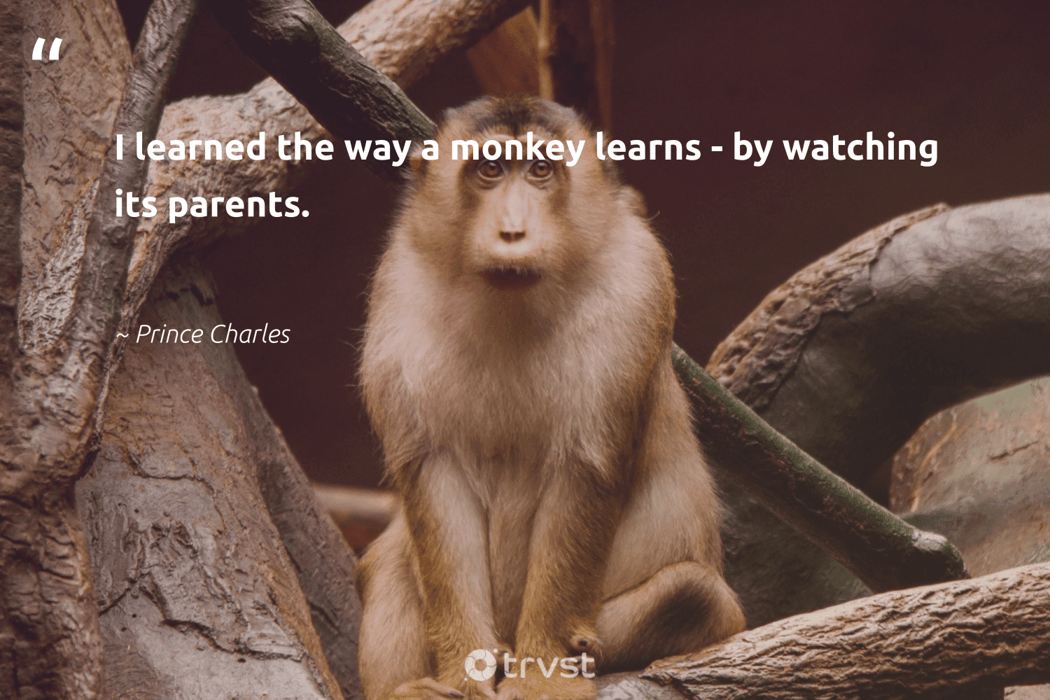 """""""I learned the way a monkey learns - by watching its parents.""""  - Prince Charles #trvst #quotes #monkey #sustainability #dotherightthing #majesticwildlife #socialchange #monkeys #changetheworld #splendidanimals #beinspired #conservation"""