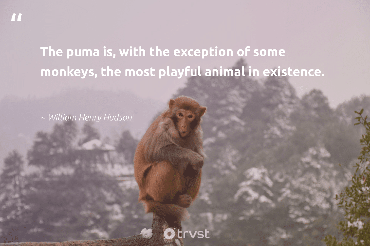 """""""The puma is, with the exception of some monkeys, the most playful animal in existence.""""  - William Henry Hudson #trvst #quotes #animal #monkeys #animallovers #protectnature #natural #takeaction #wildlife #splendidanimals #forscience #planetearthfirst"""