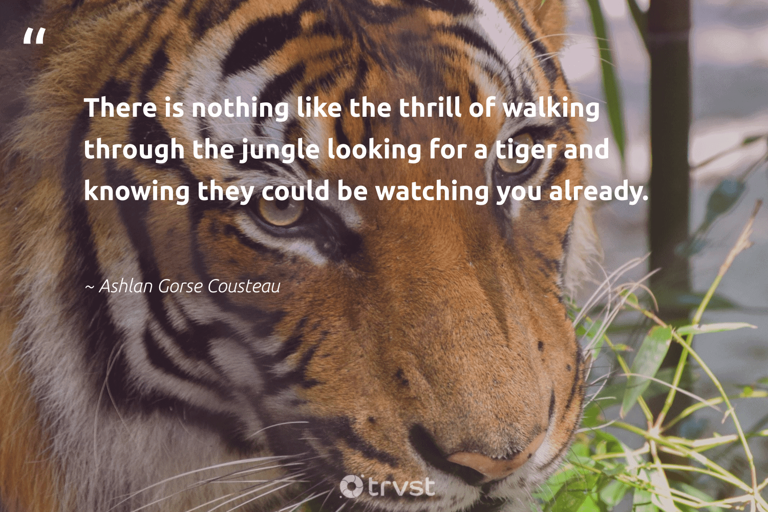 """""""There is nothing like the thrill of walking through the jungle looking for a tiger and knowing they could be watching you already.""""  - Ashlan Gorse Cousteau #trvst #quotes #tiger #splendidanimals #dotherightthing #majesticwildlife #beinspired #perfectnature #dogood #wild #bethechange #animalphotography"""