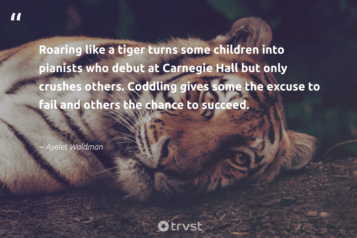 """""""Roaring like a tiger turns some children into pianists who debut at Carnegie Hall but only crushes others. Coddling gives some the excuse to fail and others the chance to succeed.""""  - Ayelet Waldman #trvst #quotes #tiger #children #biodiversity #dogood #wildlifeprotection #bethechange #ourplanetdaily #gogreen #tigers #beinspired"""