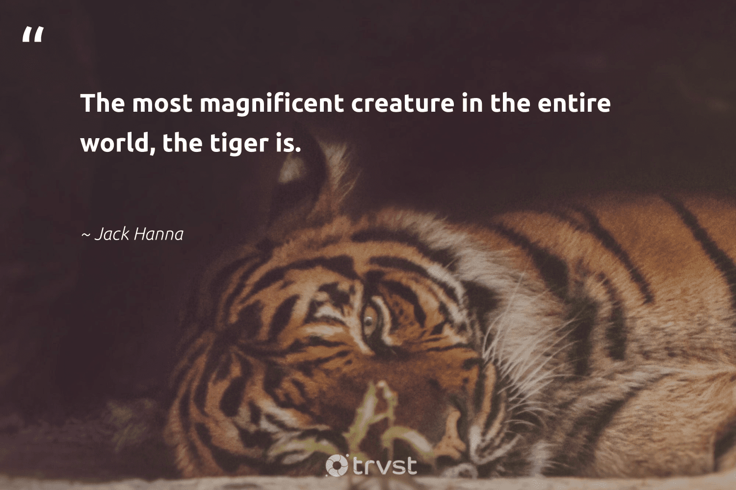 """""""The most magnificent creature in the entire world, the tiger is.""""  - Jack Hanna #trvst #quotes #tiger #tigers #gogreen #protectnature #collectiveaction #majesticwildlife #dosomething #ourplanetdaily #socialimpact #amazingworld"""