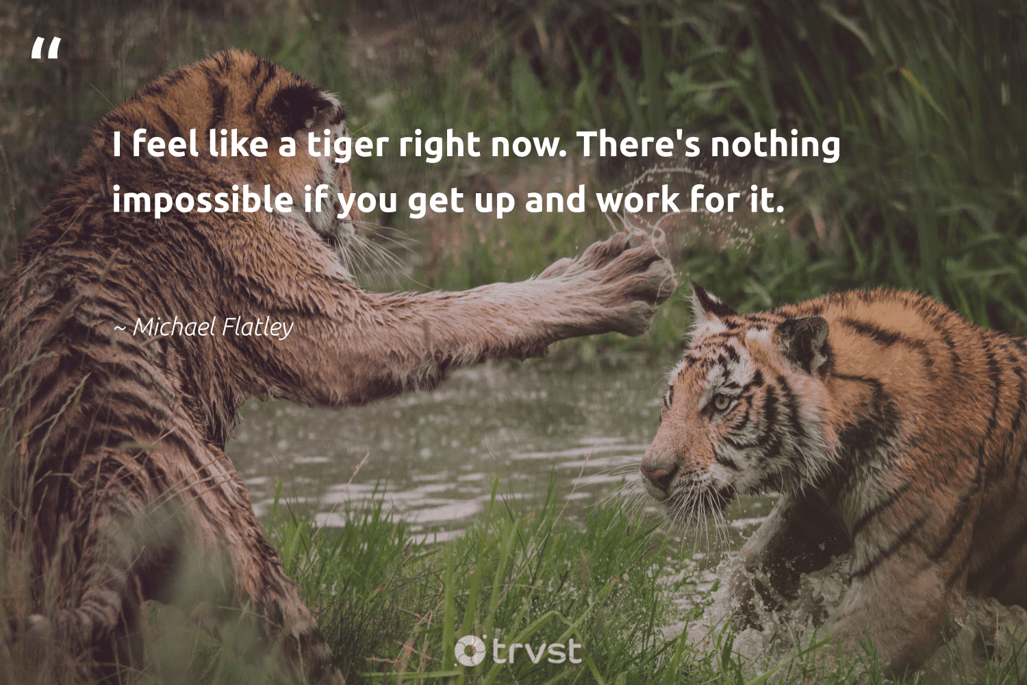 """""""I feel like a tiger right now. There's nothing impossible if you get up and work for it.""""  - Michael Flatley #trvst #quotes #tiger #tigers #dogood #ourplanetdaily #ecoconscious #conservation #gogreen #wildlifeprotection #beinspired #wild"""
