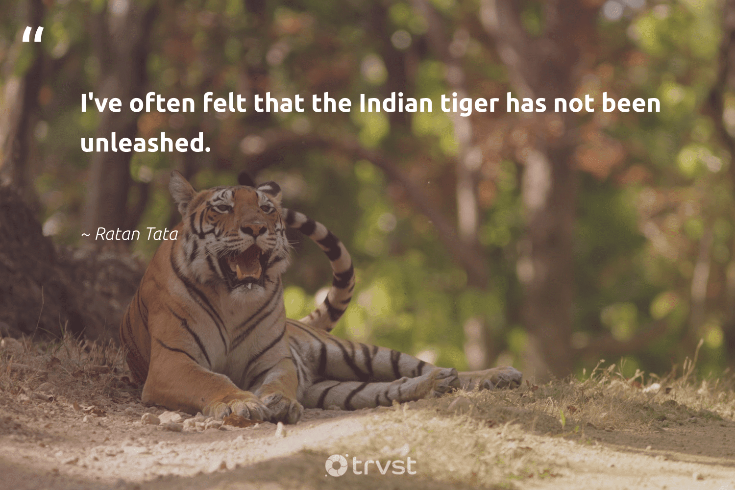 """""""I've often felt that the Indian tiger has not been unleashed.""""  - Ratan Tata #trvst #quotes #tiger #protectnature #ecoconscious #conservation #changetheworld #ourplanetdaily #beinspired #splendidanimals #socialimpact #biodiversity"""