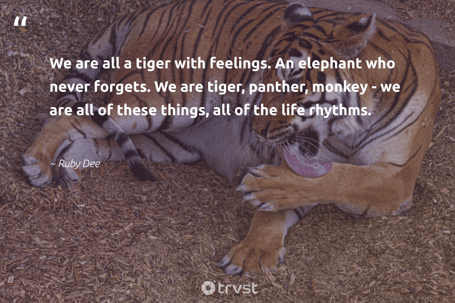 """""""We are all a tiger with feelings. An elephant who never forgets. We are tiger, panther, monkey - we are all of these things, all of the life rhythms.""""  - Ruby Dee #trvst #quotes #tiger #monkey #animalphotography #takeaction #conservation #gogreen #biodiversity #planetearthfirst #sustainability #changetheworld"""