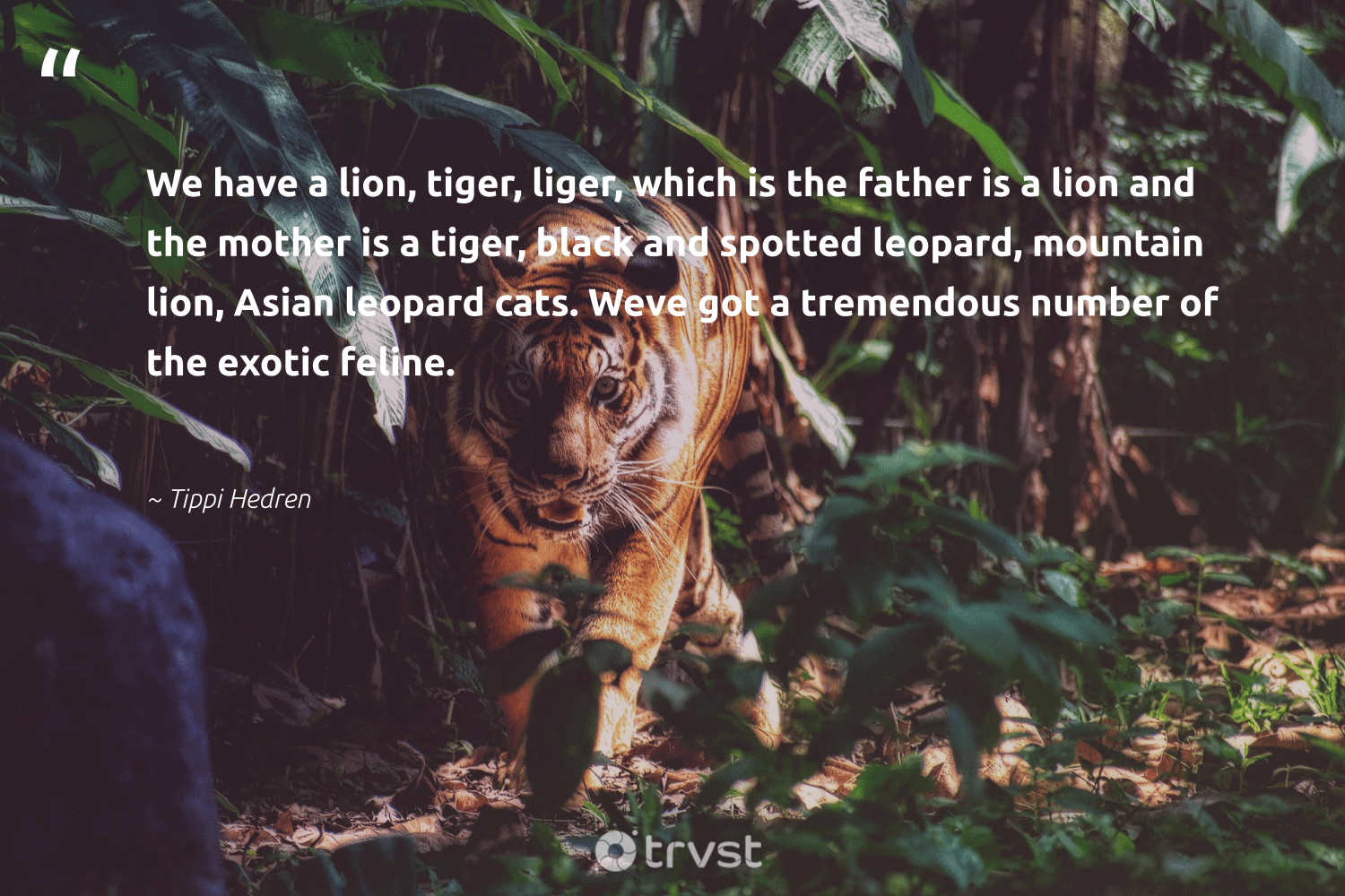 """""""We have a lion, tiger, liger, which is the father is a lion and the mother is a tiger, black and spotted leopard, mountain lion, Asian leopard cats. Weve got a tremendous number of the exotic feline.""""  - Tippi Hedren #trvst #quotes #mountain #tiger #leopard #lion #wildlifeprotection #gogreen #tigers #takeaction #ourplanetdaily #planetearthfirst"""