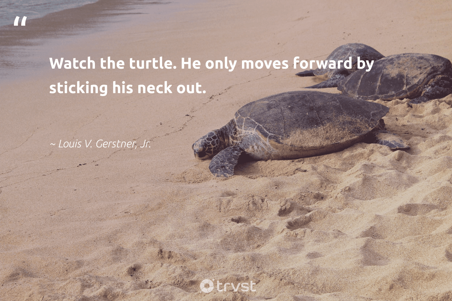 """""""Watch the turtle. He only moves forward by sticking his neck out.""""  - Louis V. Gerstner, Jr. #trvst #quotes #turtle #savetheturtle #changetheworld #marinelife #planetearthfirst #wildlifeprotection #gogreen #perfectnature #collectiveaction #sustainability"""