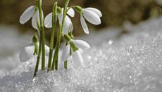 snowdrop showing crypto-winter
