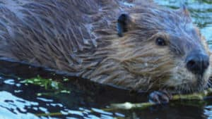 beaver in east vail