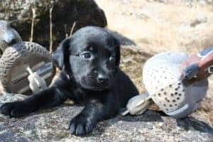Pink labrador puppy is a female super smart and sweet