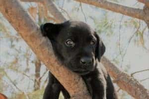Lab Puppy in a tree