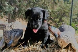 Labrador puppy on hay bale with duck decoys