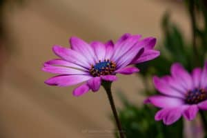 A photo capturing a magenta Gerbera Daisy in full bloom on a May evening in the town of Esopus, NY.