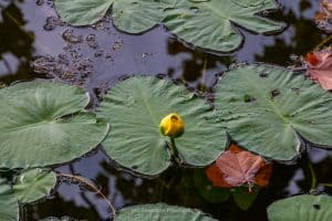 A photo of a lily pad with a yellow blossom on Sanctuary Pond at the John Burroughs Nature Sanctuary.