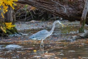 A photo of a Great Blue Heron wading in the waters along the shore of the Hudson River.