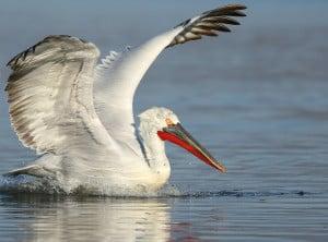 Pelícano ceñudo. Dalmatian Pelican