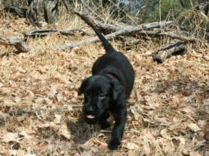 Lab puppy running and playing in leaves