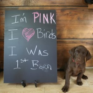 female labrador puppy with chalkboard for sale