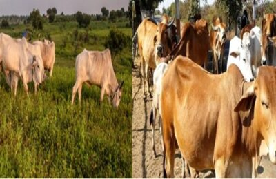 Cow should be declared national animal, cow part of Indian culture Allahabad HC
