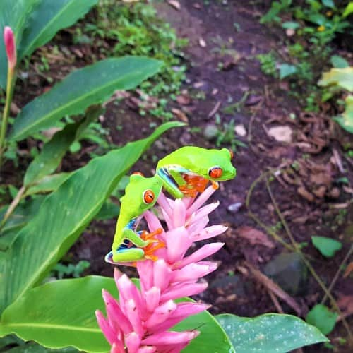 Ranas verdes sobre flor tropical rosada