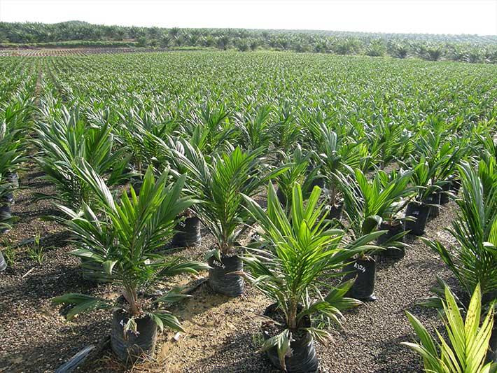 Palm Oil Nursery