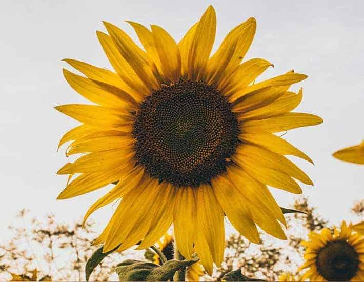 Grow sunflowers plastic free