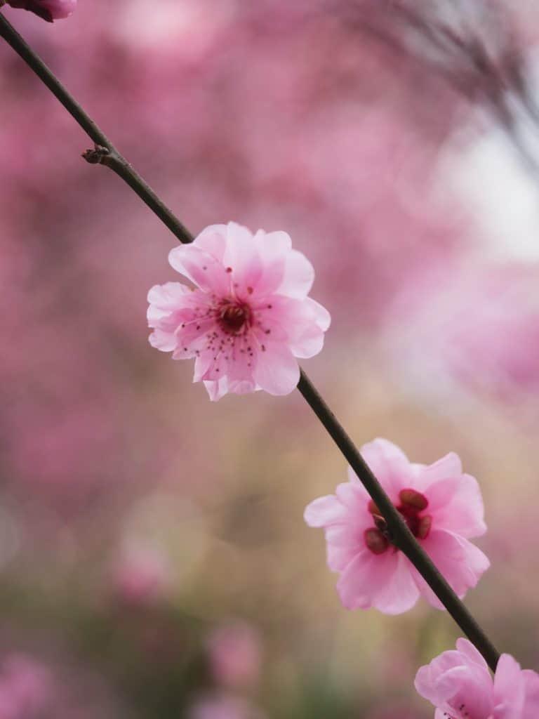 Cherry Blossom Shallow Depth of Field