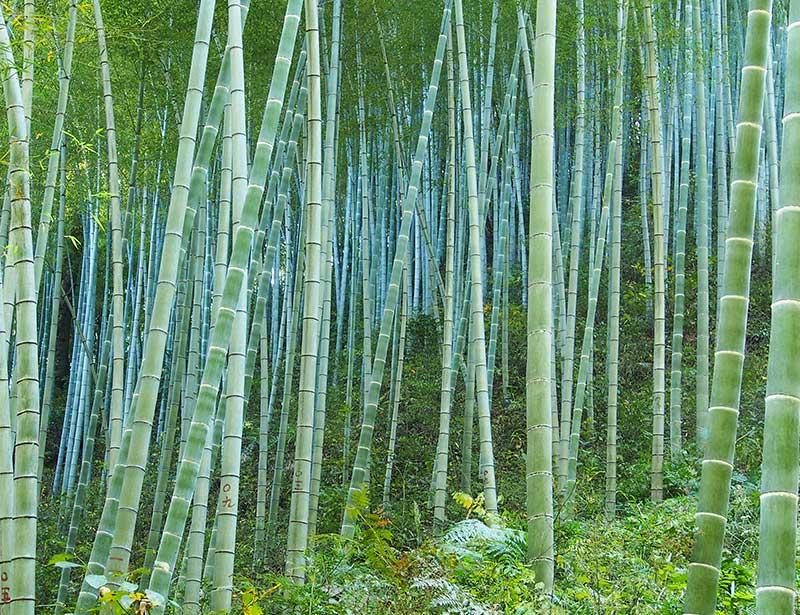 Bamboo Forest Sustainability